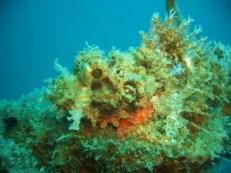 Morazon Maru Scorpionfish