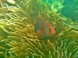 Clownfish by Chris