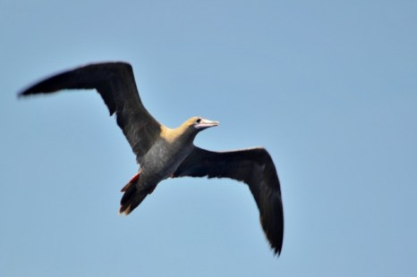 Juvenile Red Footed Booby