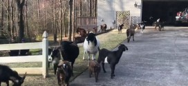 Roswell police called to wrangle pack of goats roaming the streets – Atlanta Journal Constitution