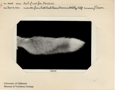 """Tail of red fox,"" November 7, 1923, photographed by Joseph Dixon, MVZ Image No. 4045."