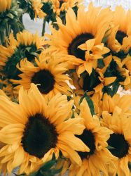 ✅[50+] Yellow Aesthetic Sunflowers HD Wallpapers Desktop Background / Android / iPhone 1080p 4k 3024x4032 2020