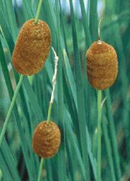 Miniature Cattail plant