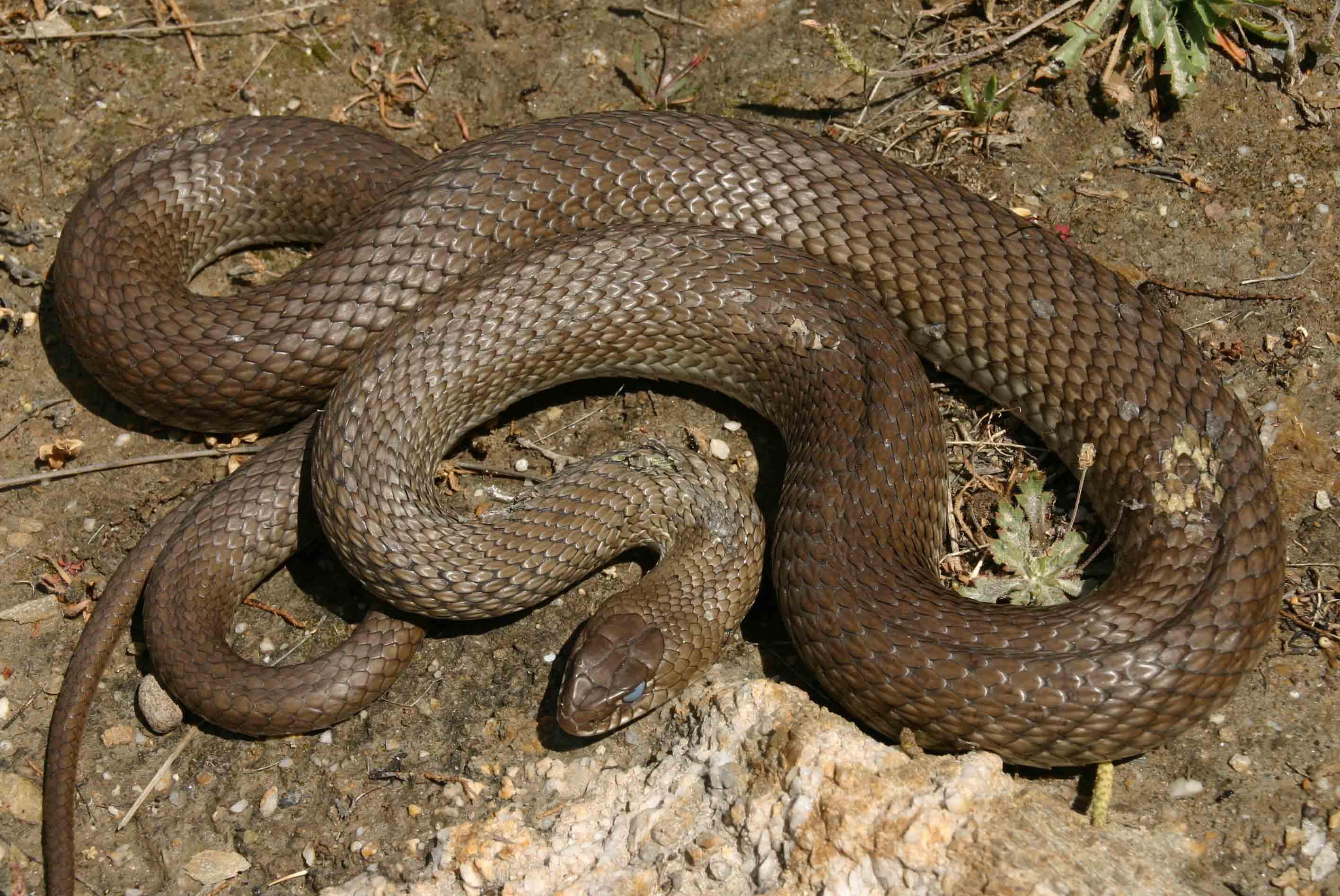 Large and fierce: Montpellier snake (Malpolon monspessulanus)