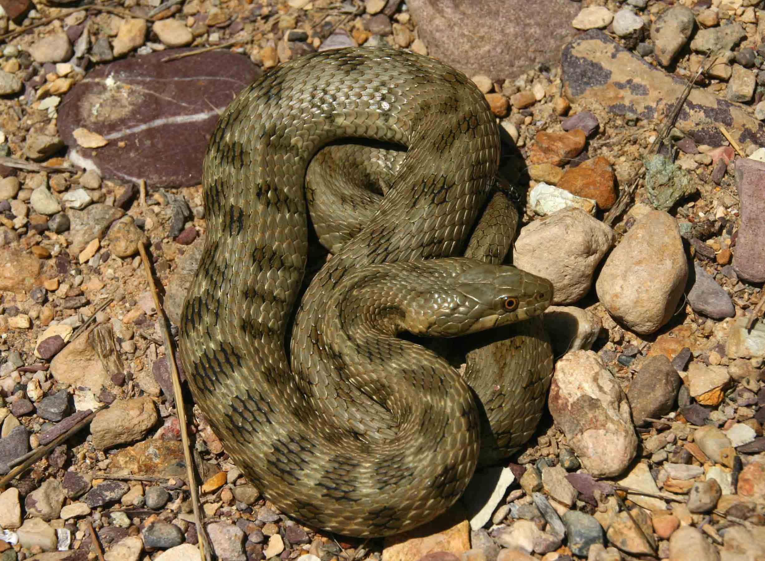 Another viperine snake (Natrix maura)