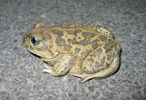 Western spadefoot toad (Pelobates cultripes from S-W France (C) Daniel Phillips