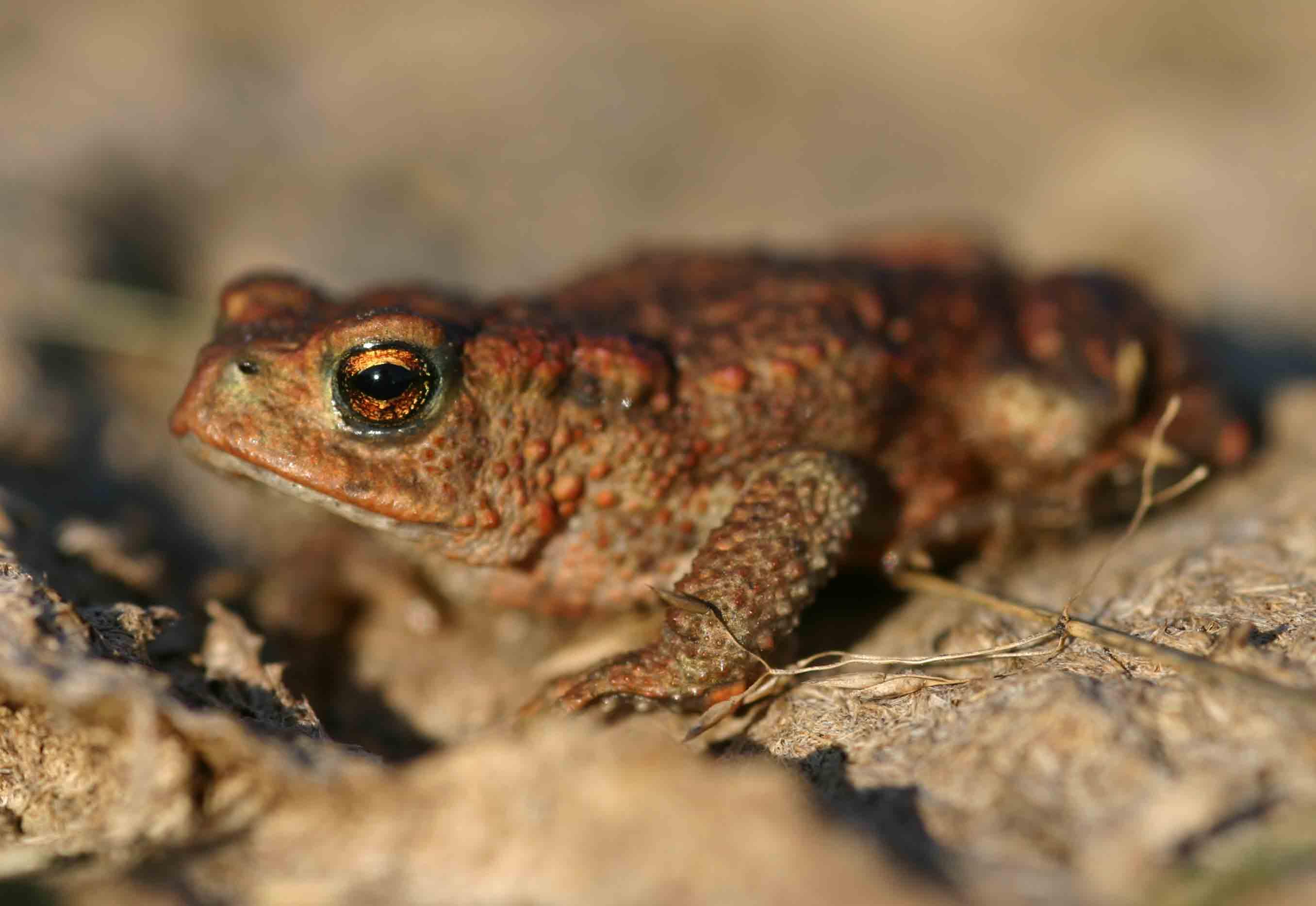 Common toad (Bufo bufo)
