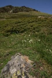 Adder (Vipera berus bosniensis) N-W Greece (C) Matt Wilson