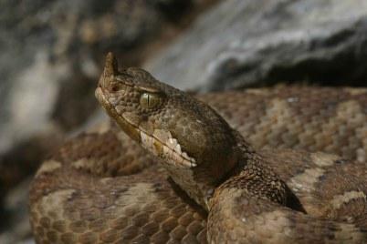 Nose-horned viper (Vipera ammodytes) N-W Greece (C) Matt Wilson