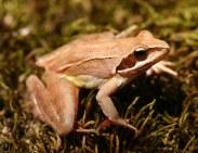 Agile frog (Rana dalmatina) Dadia forest, Greece (C) Matt Wilson
