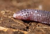 Anatolian worm lizard (Blanus strauchi), Greece (C) Matt Wilson