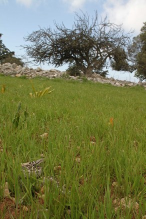 Ottoman viper (Montivipera xanthina), Dodecanese, Greece (C) Matt Wilson