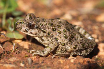 Parsley frog (Pelodytes sp.nov), Algarve (C) Matt Wilson