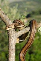 Four-lined snake (Elaphe quatuorlineata) (C) Matt Wilson