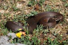 Seoanei's viper (Vipera seoanei) (C) Matt Wilson