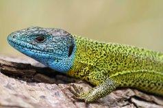 Scheriber's green lizard (Lacerta schreiberi) (C) Matt Wilson