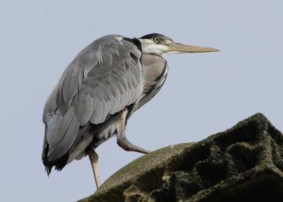 Cheeky grey heron waiting for a meal (C) Matt Wilson