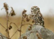 Little owl (C) Matt Wilson