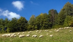 Groups who make decisions as if a mindless herd of sheep tend to make bad ones