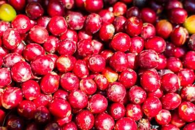 Just-picked ripe cherries