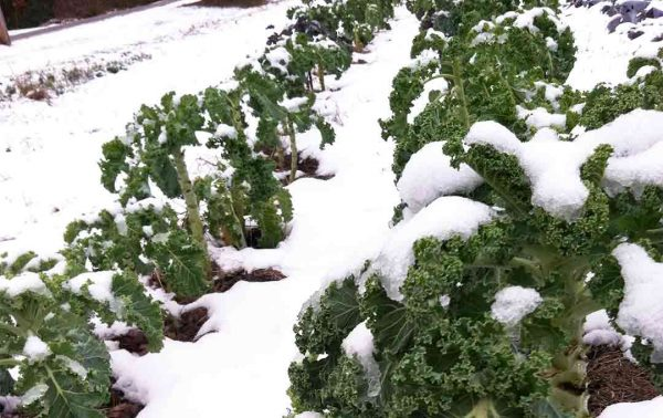 Winter Farming Kale