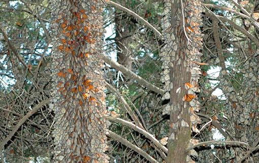Monarch butterflies wintering in Cerro Pelon