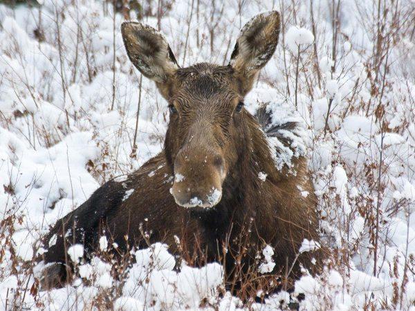 New England moose