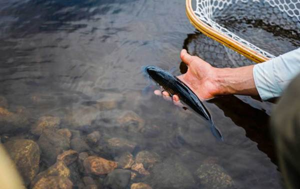 how to keep trout wet and alive
