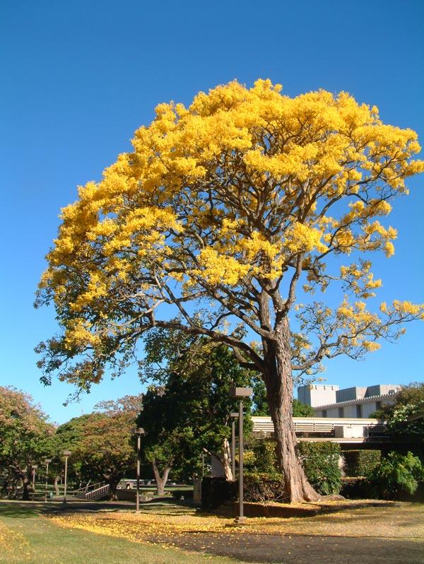 Árbol primavera, los colores dorados que llegan con la estación a ...