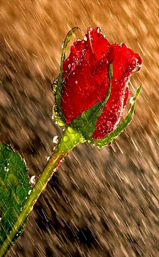 Rose Petals Falling Wallpaper 雨中花朵 给面小站