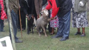 4.5 Goats presented