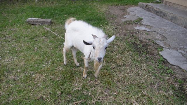 2015-08 goat