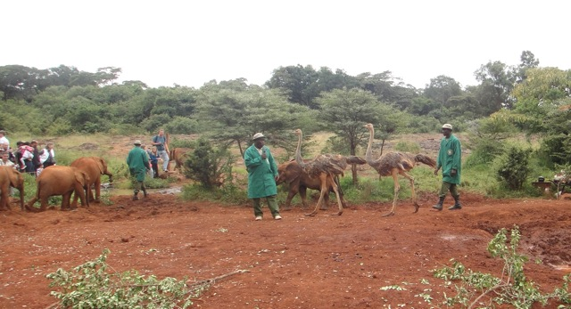 2015-20 2 ostrich at elephant orphanage