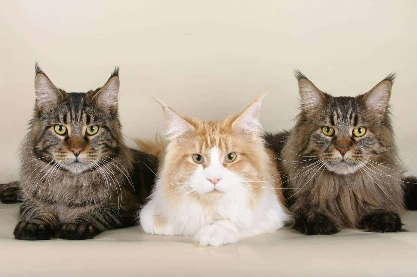 The Gentle Giants – Breed Portrait Maine Coon Cats
