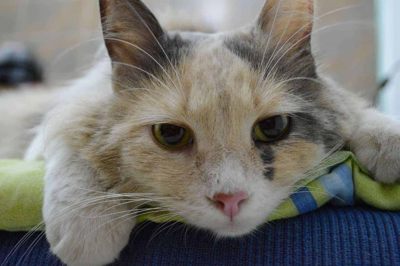 Chronic renal insufficiency – one of the deadliest diseases in cats.