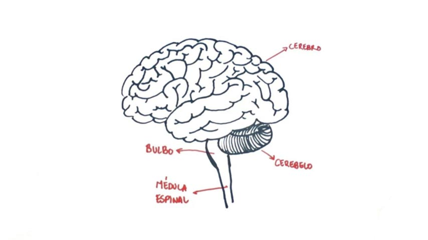 Wiring And Diagram: Diagram Parts Of The Brain Drawing