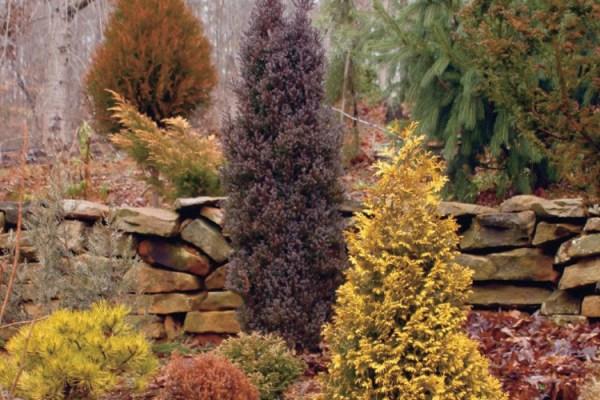 evergreen varieties add color