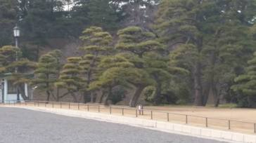 Forest of huge bonzi trees on Imperial Palace grounds