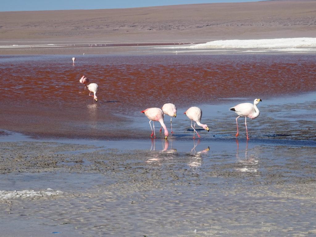 Lagunes rouges Salar d'Uyuni Bolivie