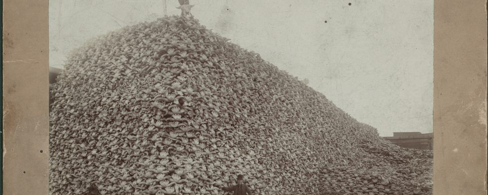 Historical photo of mountain of bison skulls documents animals on the brink of extinction
