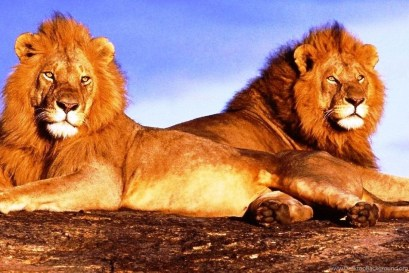 191755_two-lions-free-desktop-backgrounds-free-wallpapers-image_1095x732_h