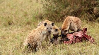 904744306-living-being-spotted-hyena-scavenger-animal-maasai-mara-national-reserve
