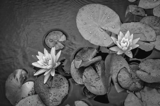 4432-lily-pads-black-and-white-david-lange