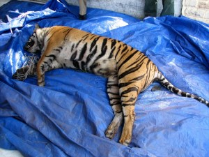 A Sumatran tiger snared to death in Riau, Indonesia. The carcass was found with the snare still attached to it.