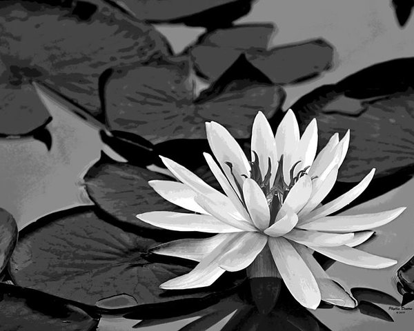 water-lily-black-and-white-phyllis-denton