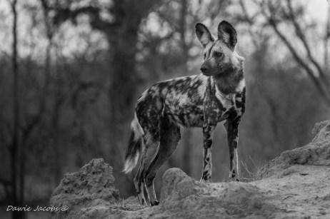 African-Wild-dog-Dawie-Jacobs-lge