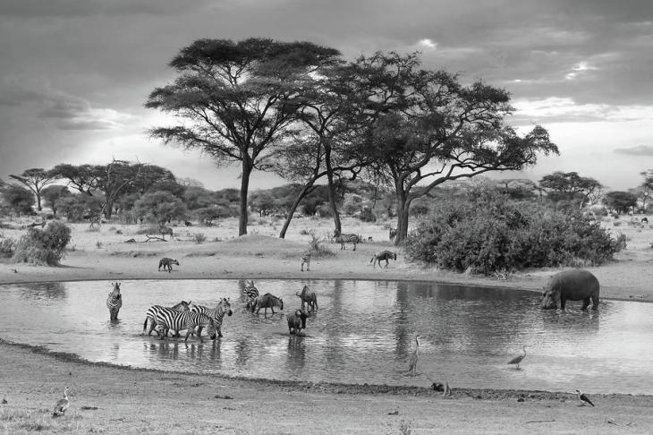 african-wildlife-at-the-waterhole-in-black-and-white-gill-billington