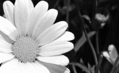black-and-white-daisy-flower-1102555