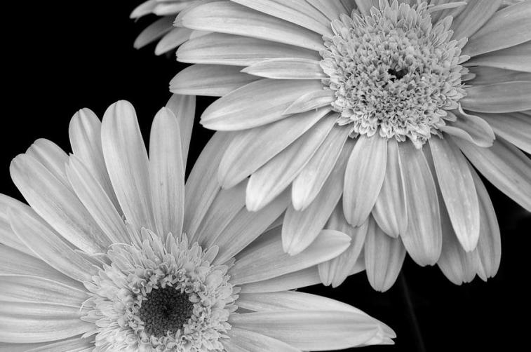 black-and-white-gerbera-daisies-1-amy-fose