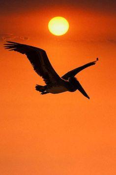 Pelican (Pelecanus occidentalis)
